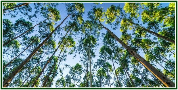o-poder-de-cura-do-eucalipto