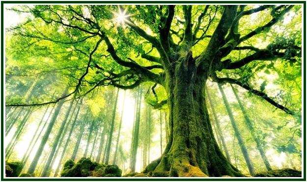 Velhas Árvores
